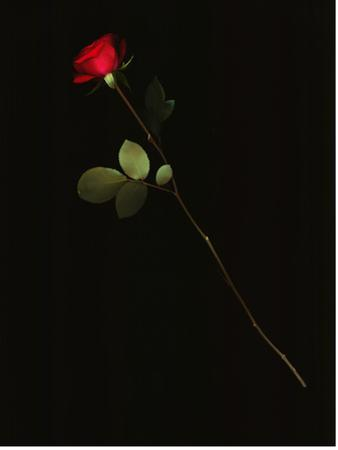 A Single Red Rose Against a Black Background by Kenneth Ginn