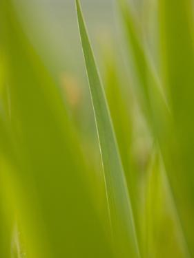 An Iris Leaf in the Tuscan Countryside by Kenneth Ginn