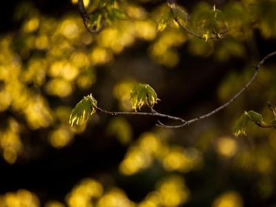 Early Maple Leaf Buds are Everywhere in Spring by Kenneth Ginn