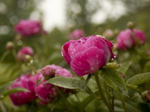 Red Peonies after a Summer Rain Shower by Kenneth Ginn