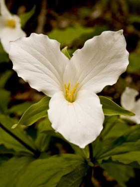 The Trillium Flower, the Official Flower of the Province of Ontario by Kenneth Ginn