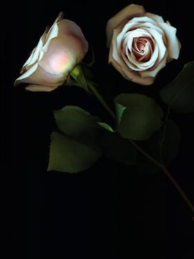 Two White Roses on a Black Background by Kenneth Ginn