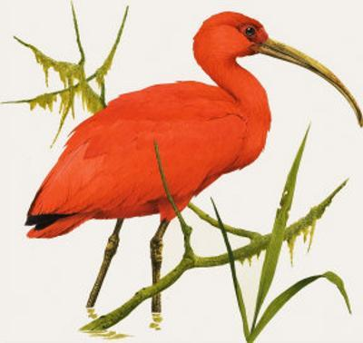 I For Ibis by Kenneth Lilly