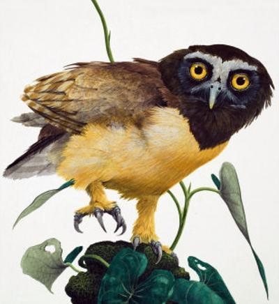 Spectacled Owl by Kenneth Lilly