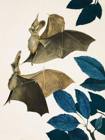 The Long-Eared Bat by Kenneth Lilly