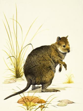 The Quokka from Australia, a Type of Wallaby by Kenneth Lilly