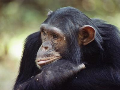 A Close-up of One of the Many Chimpanzees That were Studied by Researcher Jane Goodall by Kenneth Love