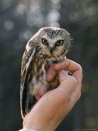 Hand Holding a Northern Saw-Whet Owl by Kenneth Love