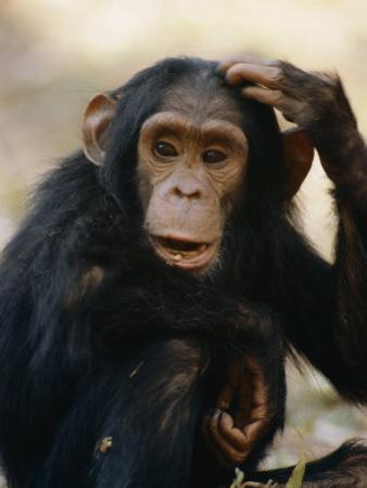 One of the Many Chimpanzees Studied by Jane Goodall at Gombe Stream National Park by Kenneth Love