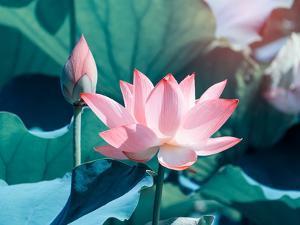 Blooming Lotus Flower by kenny001