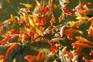 Colorful Koi or Carp Chinese Fish in Water by kenny001