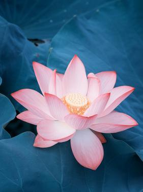 Lotus Flower and Lotus Flower Plants by kenny001