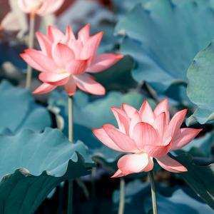 Lotus Flower Blooming in Summer Pond with Green Leaves as Background by kenny001