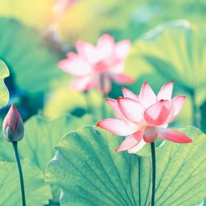 Lotus Flower Plants by kenny001