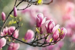 Pink Magnolia Flower in Garden by kenny001