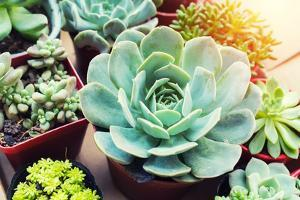 Rectangular Arrangement of Succulents; Cactus Succulents in a Planter by kenny001