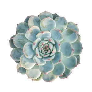 Round Succulent Top Isolated on White Background by kenny001