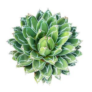 Succulent Plant Isolated on White by kenny001