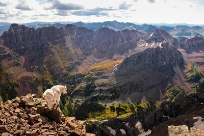 Mountain Goat Stands at the Edge of Bouldery Cliff at the Maroon Bells in Colorado