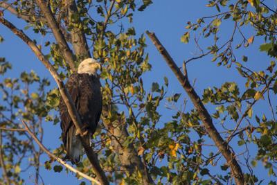 A Bald Eagle, Haliaeetus Leucocephalus, Perches in a Tree Near the Occoquan River