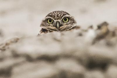 A Burrowing Owl, Athene Cunicularia, Near its Burrow