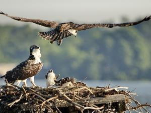 A Fledgling Osprey Lands in its Nest after One of its Early Flights by Kent Kobersteen