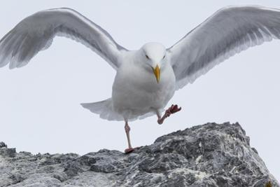 A Glaucous Gull, Larus Hyperboreus, on a Rock Near its Nest