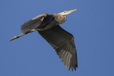 A Great Blue Heron, Ardea Herodias, in Flight Above the Occoquan River
