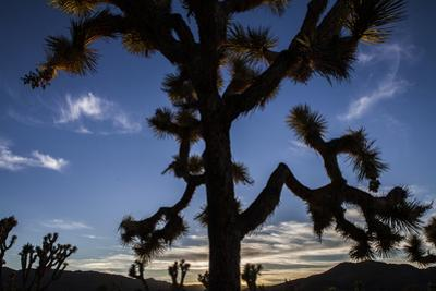 A Joshua Tree Silhouetted Against the Sunset Sky in Lost Horse Valley