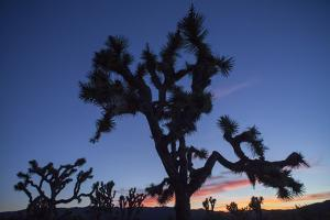 A Joshua Tree Silhouetted Against the Sunset Sky in Lost Horse Valley by Kent Kobersteen