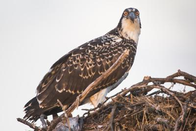 A Juvenile Osprey on a Nest at Sunset on the Occoquan River in Northern Virginia
