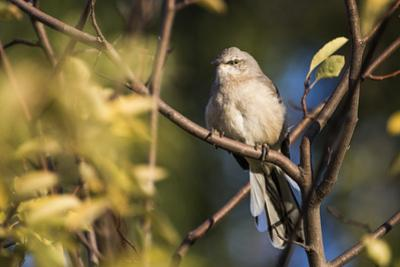 A Northern Mockingbird, Mimus Polyglottos, Perching on the Branch of a Tree