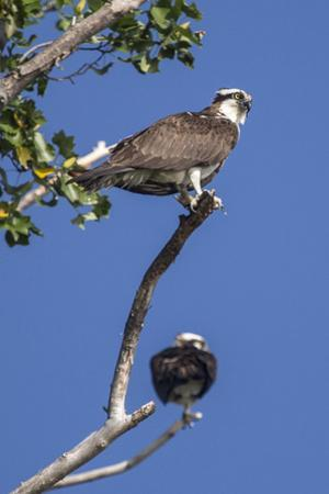 A Pair of Ospreys, Pandion Haliaetus, Perched on the Branch of a Tree