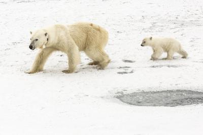 A Polar Bear, Ursus Maritimus, and Her Cub. the Mother Bear Wears a Radio Tracking Collar