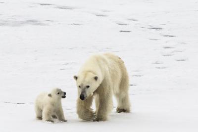 A Polar Bear, Ursus Maritimus, and Her Cub