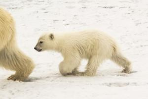 A Polar Bear, Ursus Maritimus, and Her Cub by Kent Kobersteen