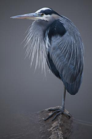 A Portrait of a Great Blue Heron, Ardea Herodias, Perched on a Submerged Rock by Kent Kobersteen
