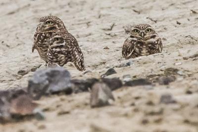 A Trio of Burrowing Owls, Athene Cunicularia, Near their Burrow