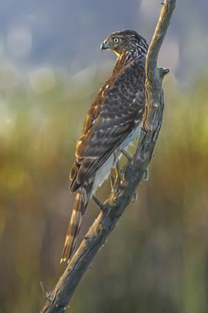 An Immature Cooper's Hawk, Accipiter Cooperii, Perches on a Branch at Sunset