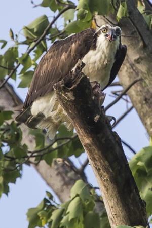 An Osprey, Pandion Haliaetus in a Tree with a Fish Along the Occoquan River