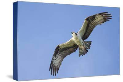 An Osprey, Pandion Haliaetus, in Flight in a Clear Blue Sky