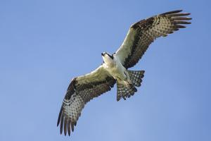 An Osprey, Pandion Haliaetus, in Flight in a Clear Blue Sky by Kent Kobersteen