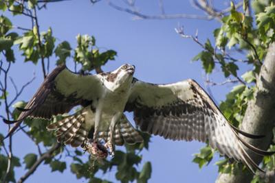 An Osprey, Pandion Haliaetus, in Flight with a Fish in its Talons