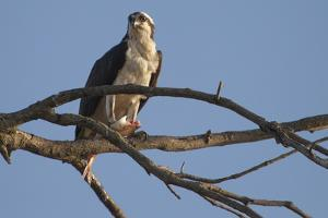 An Osprey, Pandion Haliaetus, Perched in a River-Side Tree with a Fresh-Caught Fish by Kent Kobersteen