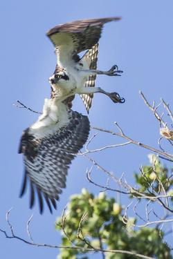 An Osprey, Pandion Haliaetus, Takes Flight from a Tree Branch by Kent Kobersteen