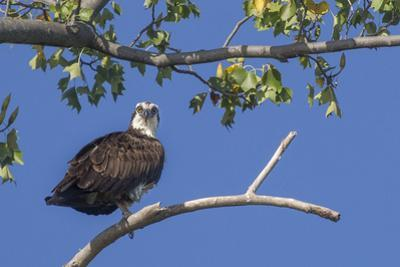 An Osprey Perches on a Tree Branch Along the Occoquan River in Northern Virginia