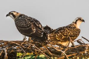Juvenile Ospreys on a Nest at Sunset on the Occoquan River in Northern Virginia by Kent Kobersteen