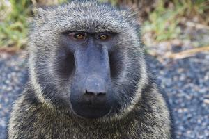 Baboon in Abijatta-Shalla Lakes National Park, Ethiopia by Keren Su