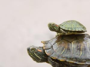 Baby Turtle Riding on Mother's Back by Keren Su