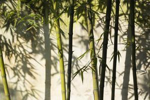 Bamboo casting shadows, Suzhou, Jiangsu Province, China by Keren Su